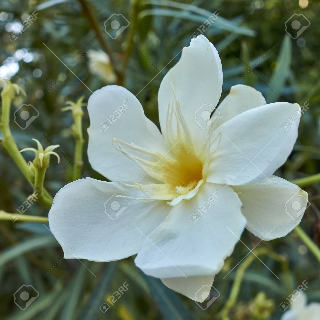 One White Oleander Flower Close Up In The Garden Stock Photo Picture And Royalty Free Image Image 50832030
