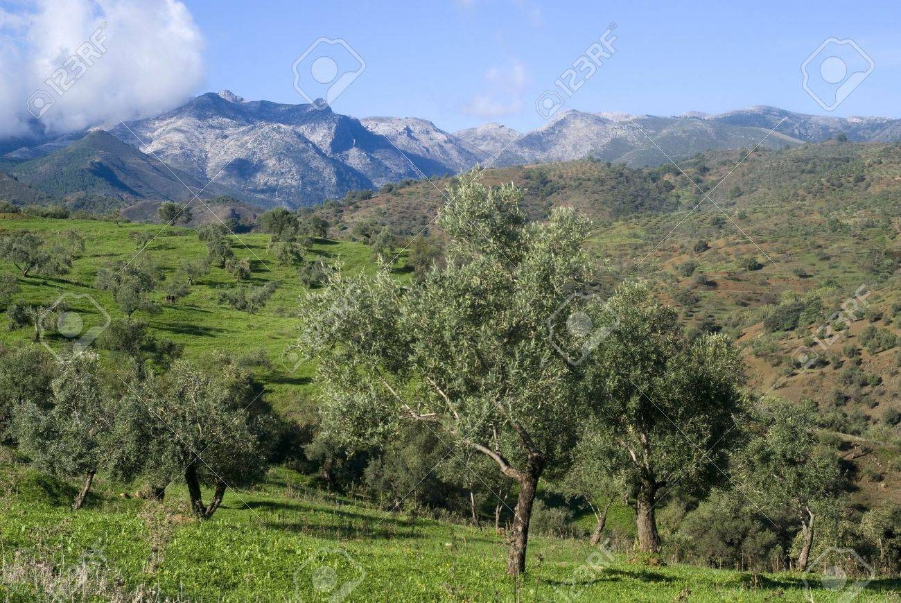 Olive orchards in the Andalusia region of Spain Stock Photo - 16358591