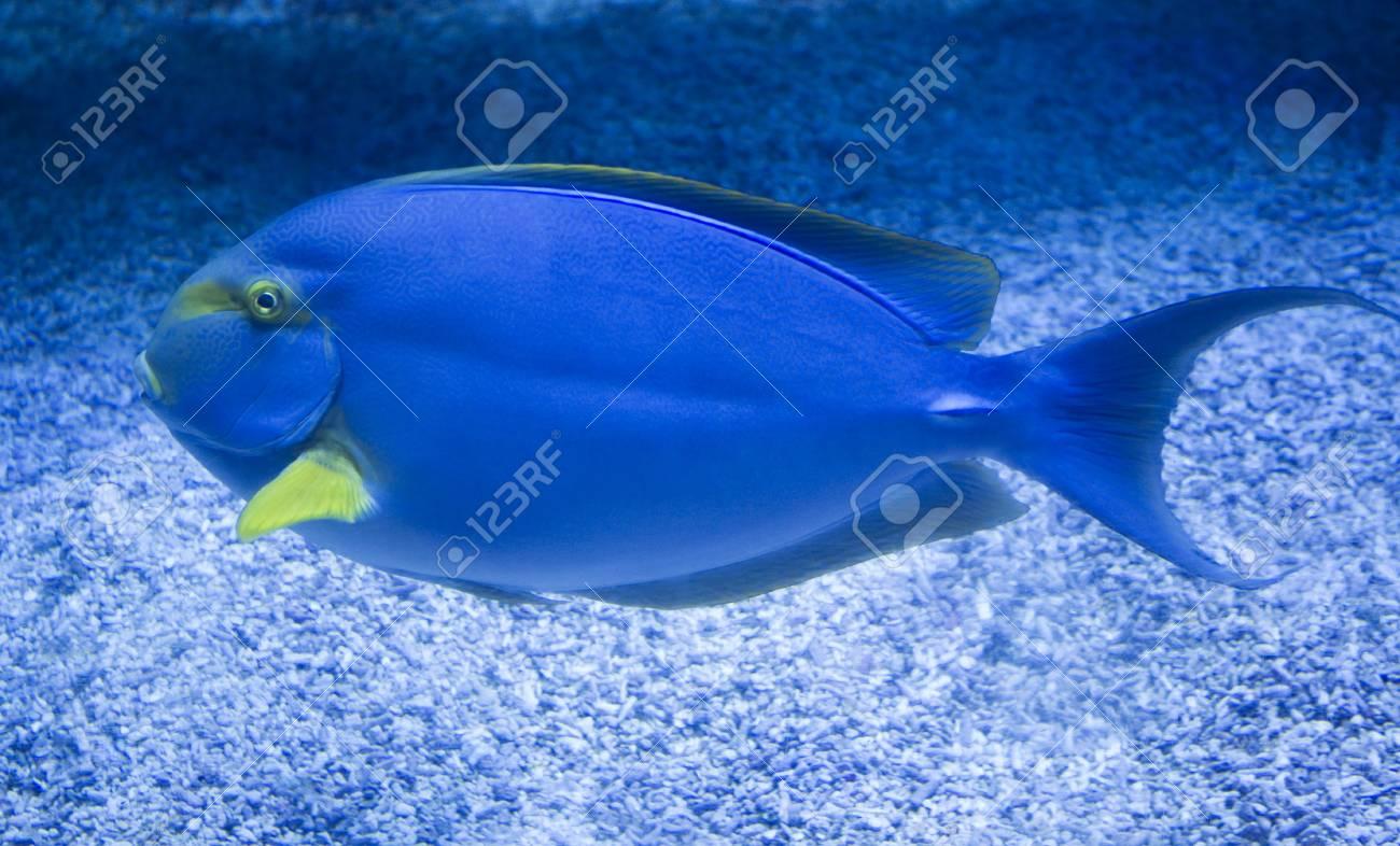 Atlantic Blue Tang Acanthurus Coeruleus Stock Photo Picture And Royalty Free Image Image 65824849
