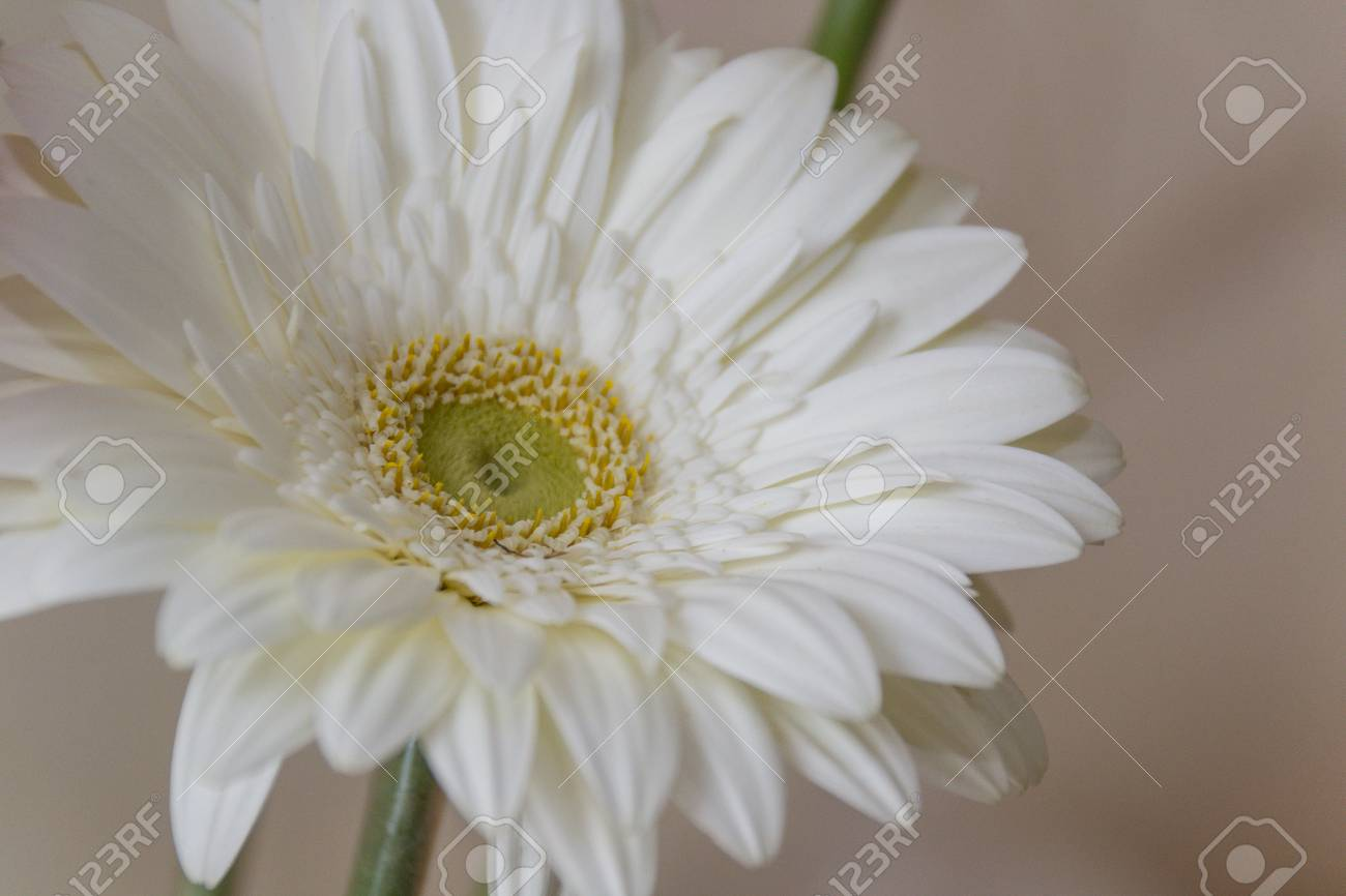 Close Up Of A White Gerbera Flower It Is A Genus Of Herbaceous