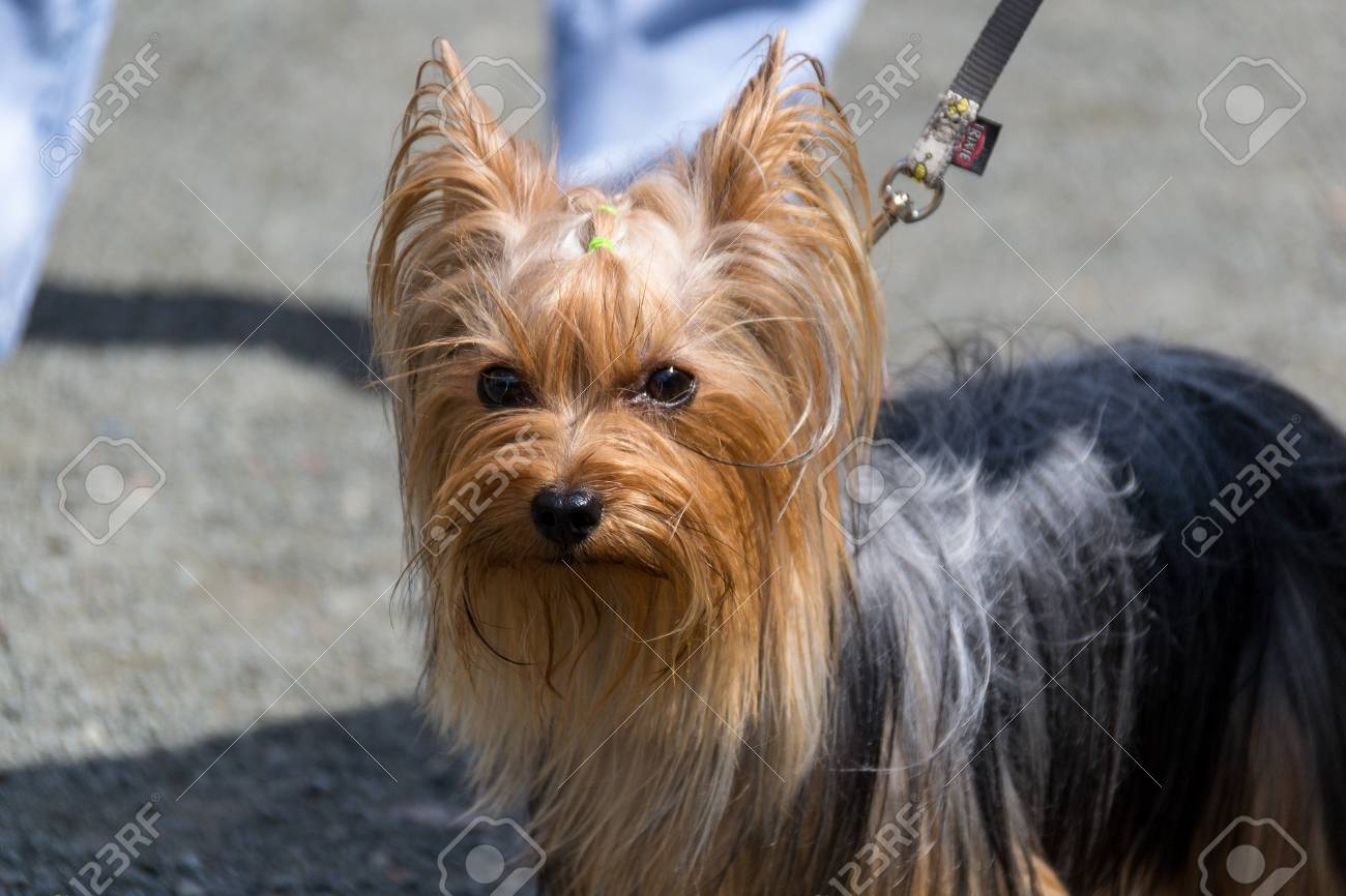A Pretty Dog A Yorkshire Terrier Standing On A Leash At The Feet