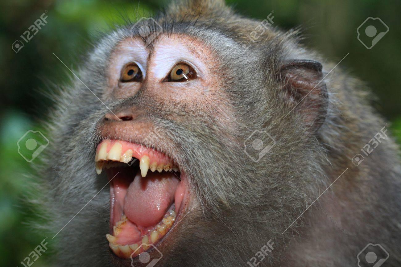怒っている野生猿 (カニクイザ...