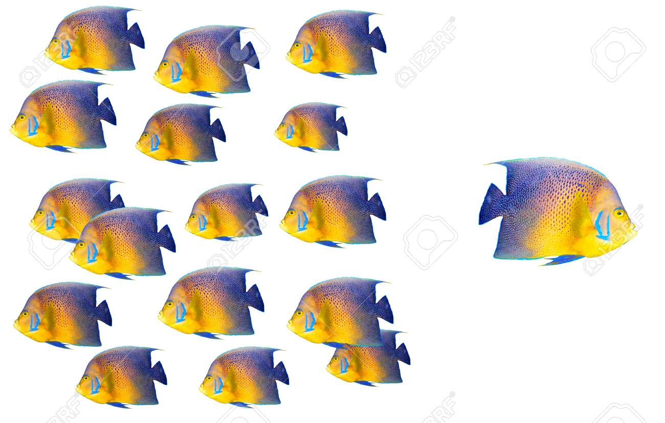 Going different way and standing out of crowd concept with angelfish Stock Photo - 8363876