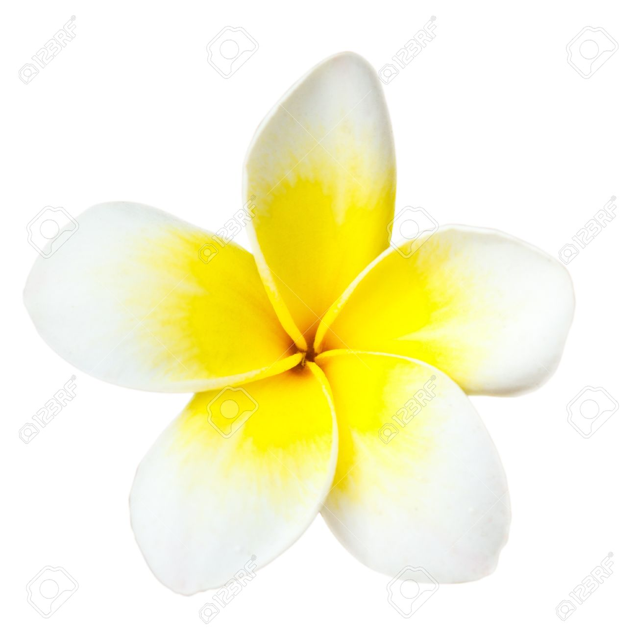 White tropical flower frangipani closeup isolated on white stock photo white tropical flower frangipani closeup isolated on white background mightylinksfo