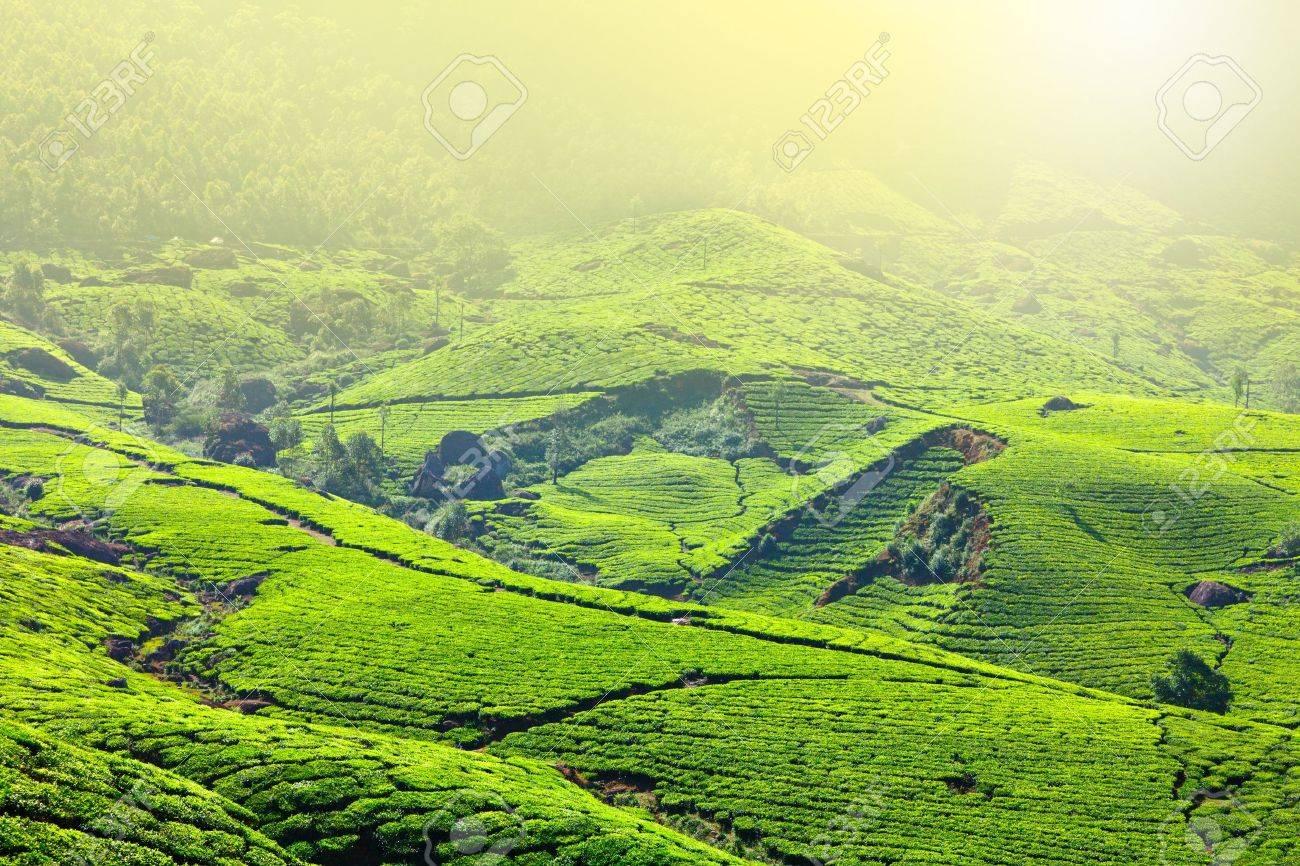 Tea plantations in morning fog. Munnar, Kerala, India Stock Photo - 9091582