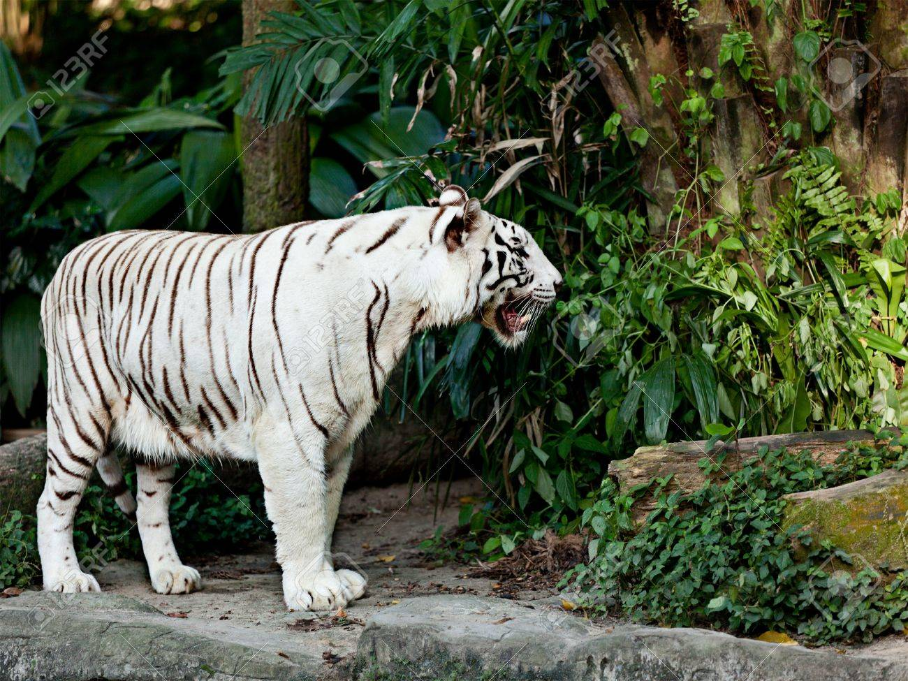 White tiger in jungles Stock Photo - 11173469