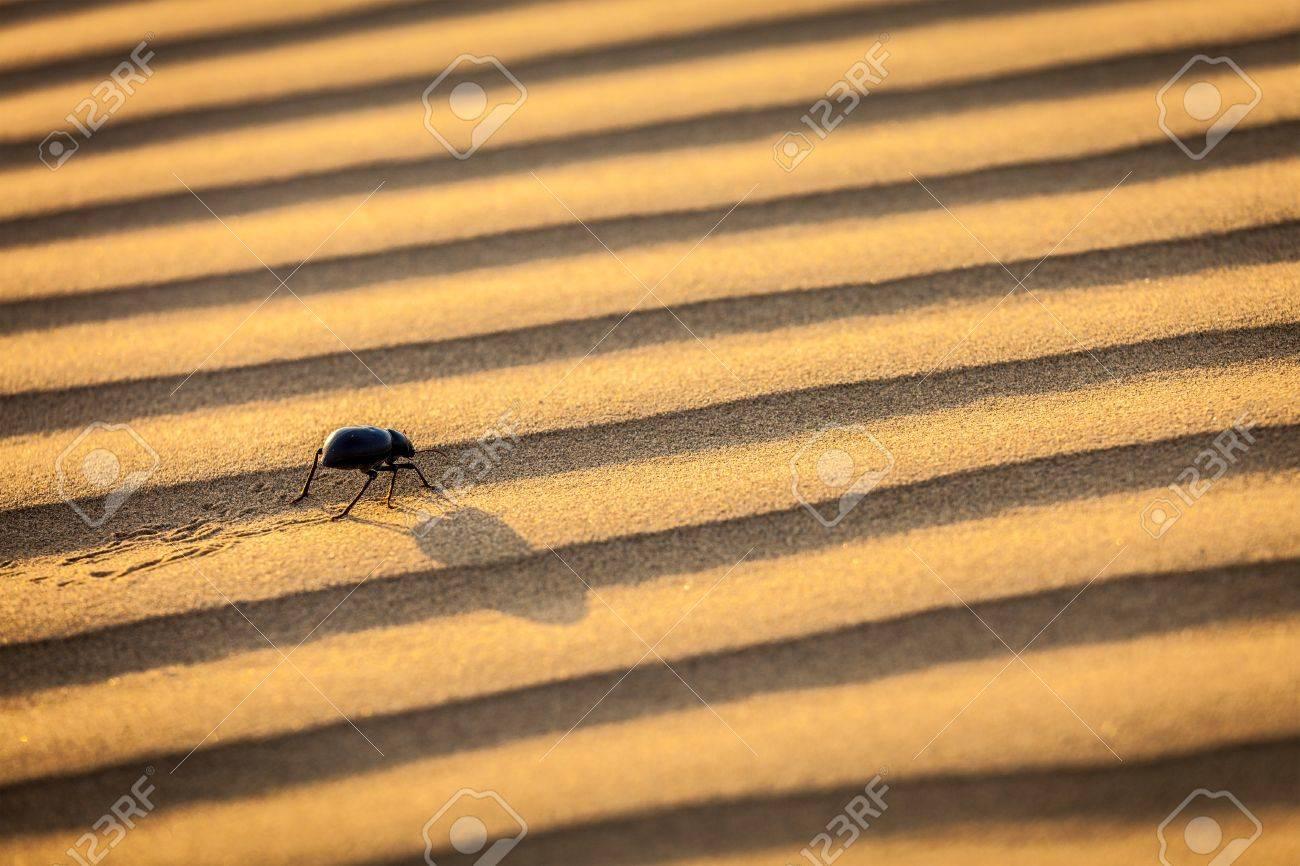 Scarab  Scarabaeus  beetle on desert sand dune Stock Photo - 19082248