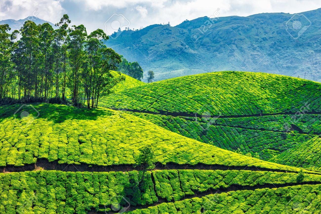 Green tea plantations in Munnar, Kerala, India - 46699592