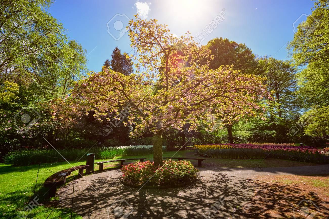 Blooming Tree In Keukenhof Flower Garden, Netherlands Stock Photo ...
