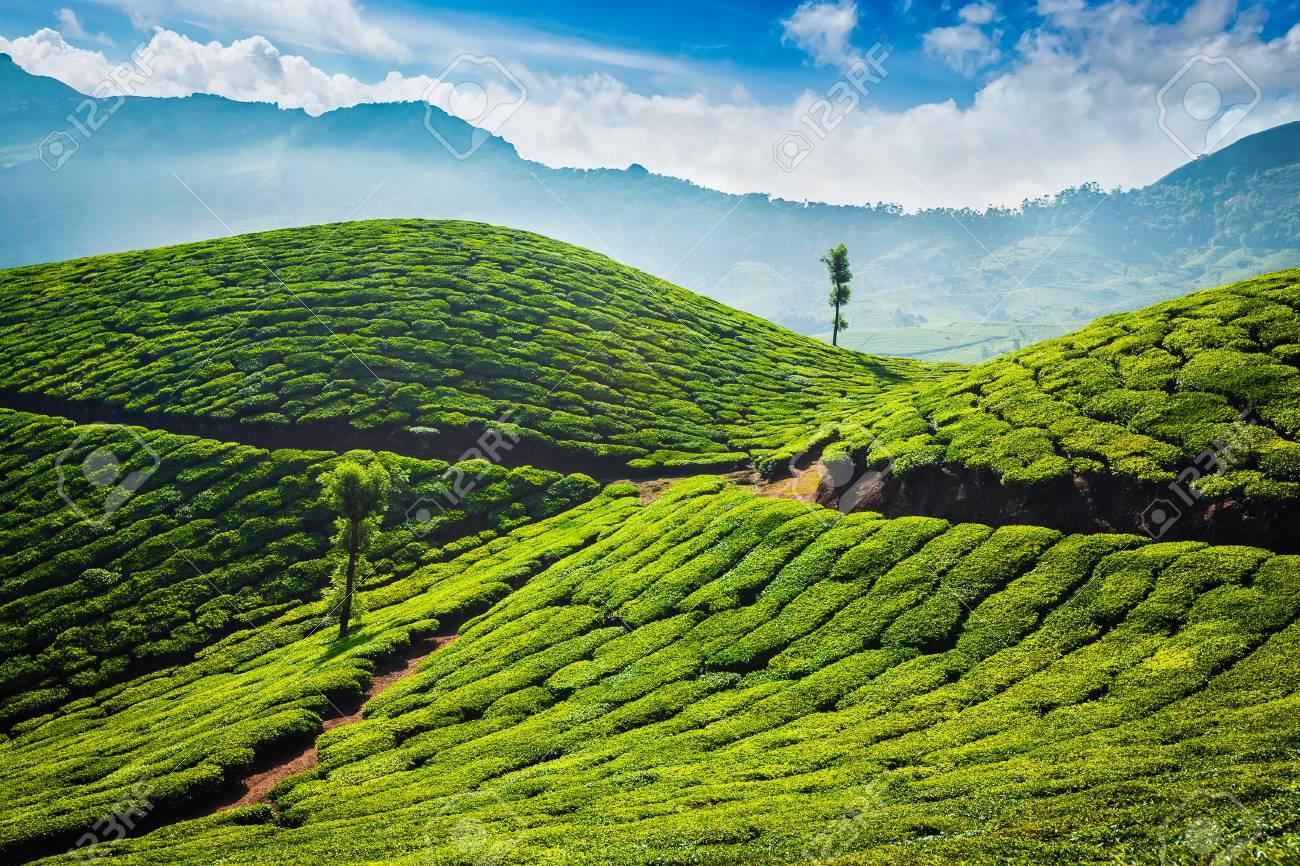 Tea plantations. Munnar, Kerala - 89034358