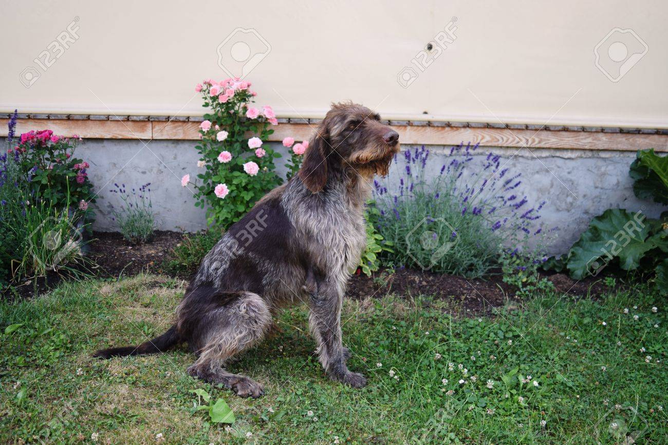 Hunting Dog On Sunny Day, German Wirehaired Pointer . Stock Photo ...