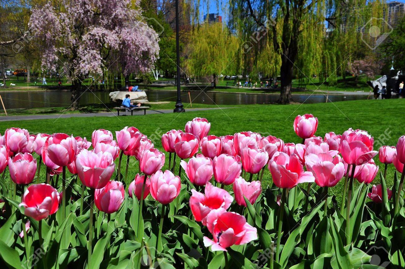 Boston City From Tulip Garden, Boston Public Garden, USA Stock Photo    19452170
