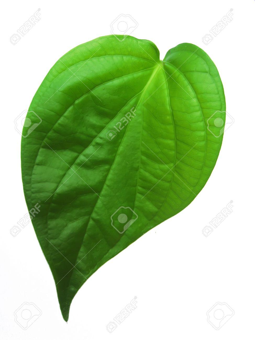betel leaf isolated on white background - 14726586
