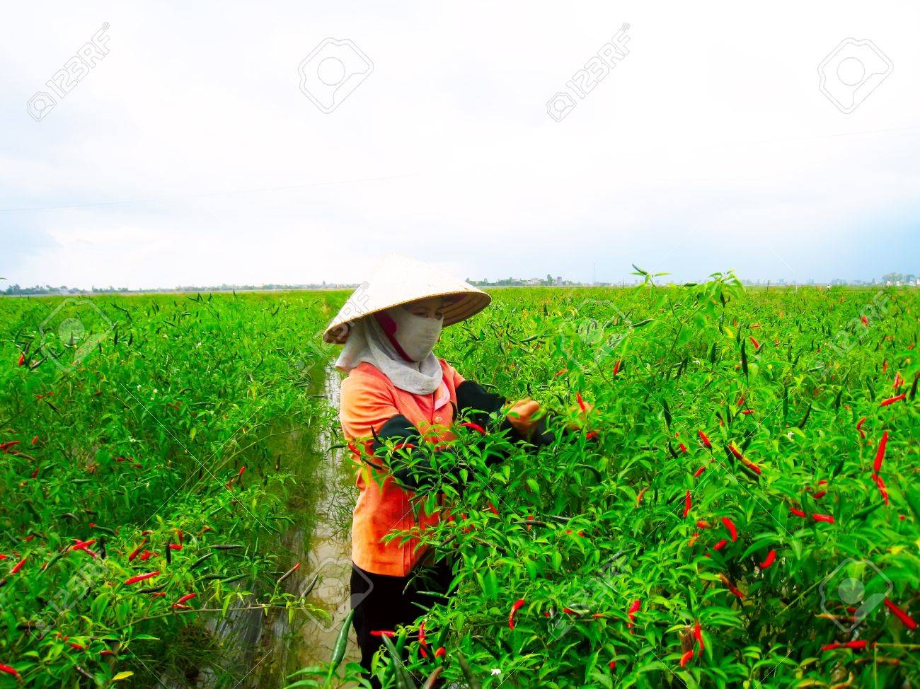 HAI DUONG, VIETNAM, July 12: Vietnamese woman farmer picking chili on the field on July 12, 2013 in Hai Duong, Red River Delta, Vietnam. After harvesting chili will sell at the market to shop for food - 20806038