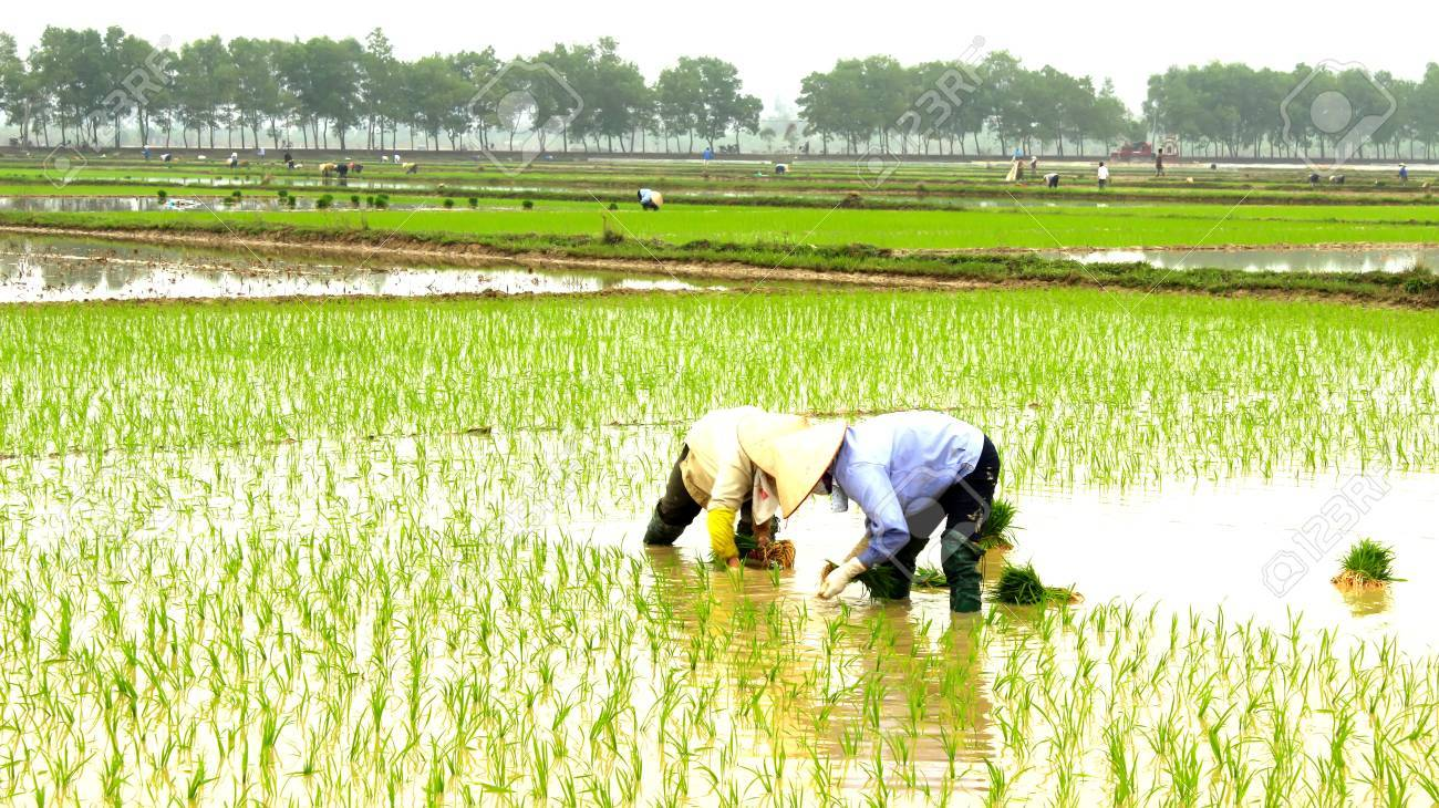 farmer planting rice in the field - 27882136
