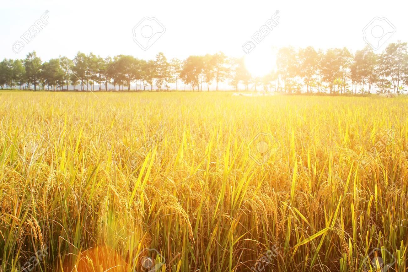 rice field - 33116045