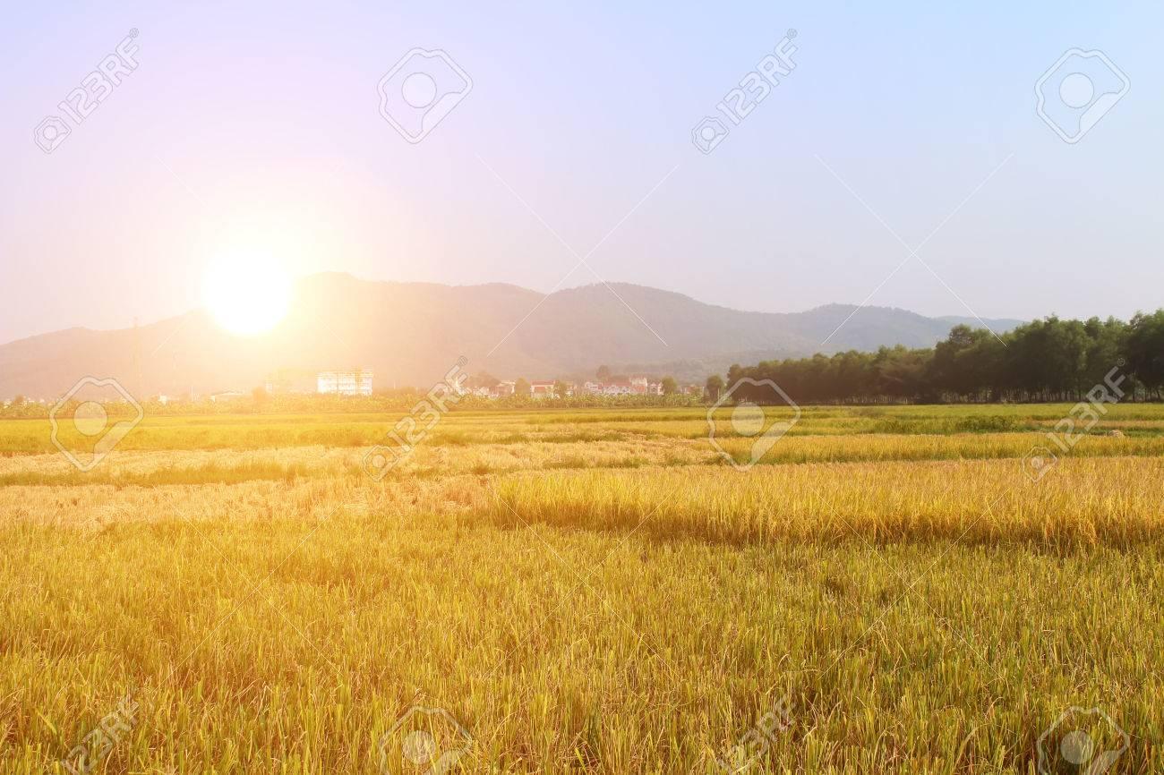 ripe rice field - 33116084