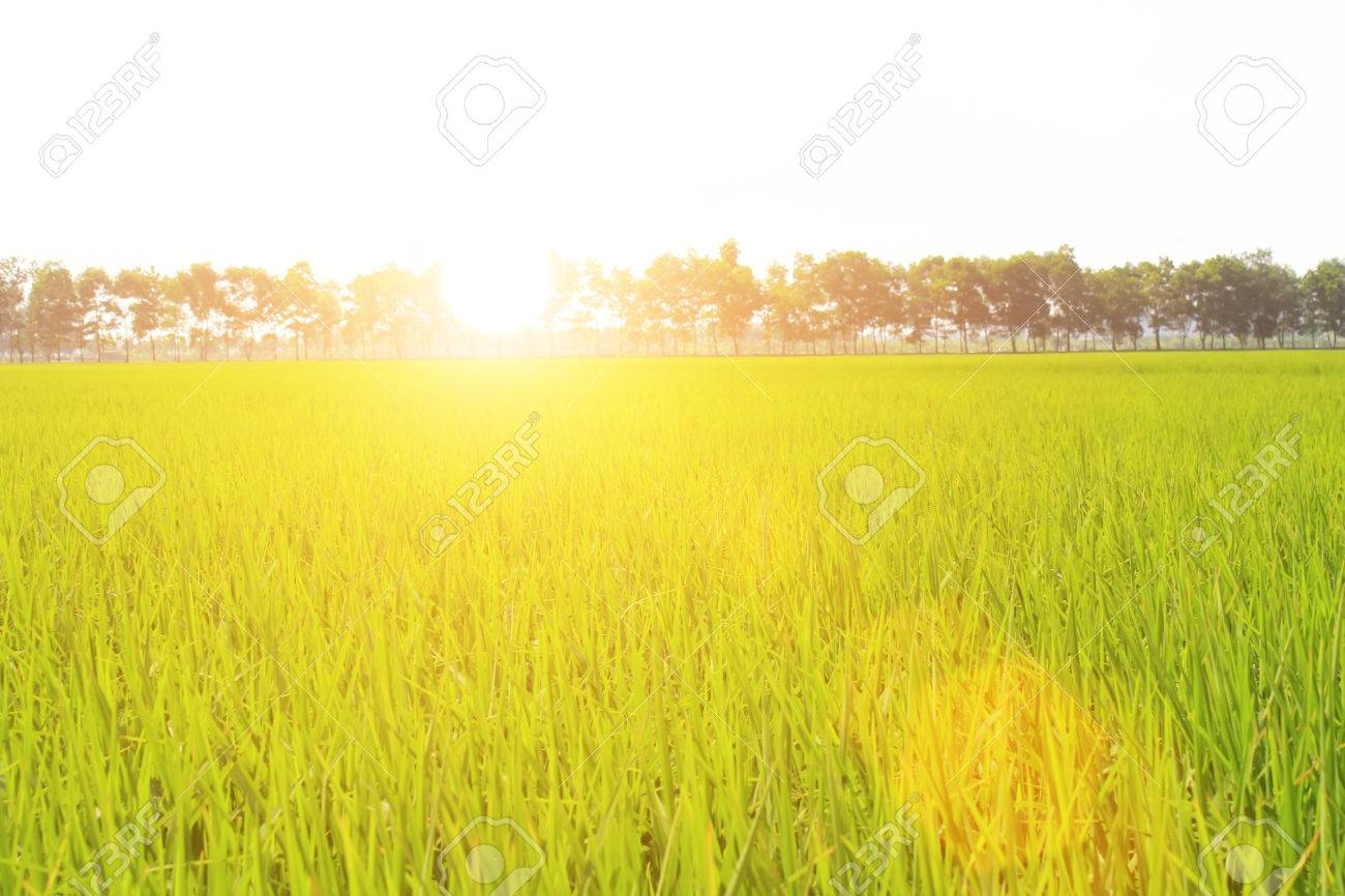 golden rice field and sky - 41661206