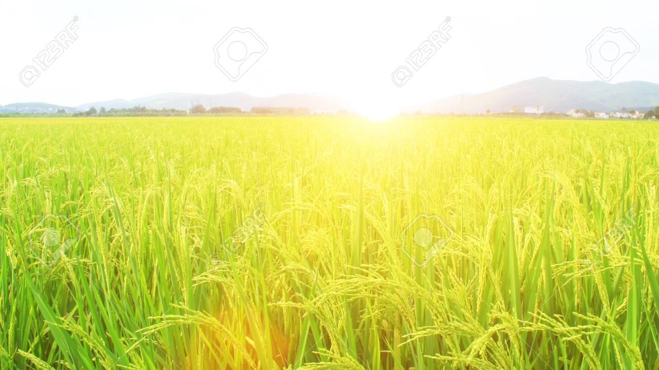 golden rice field and sky - 41664207