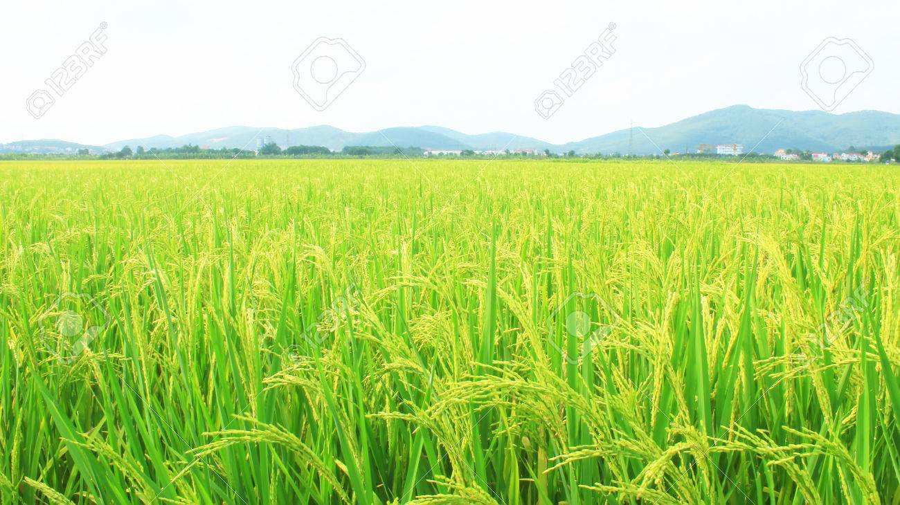 golden rice field and sky - 41664236