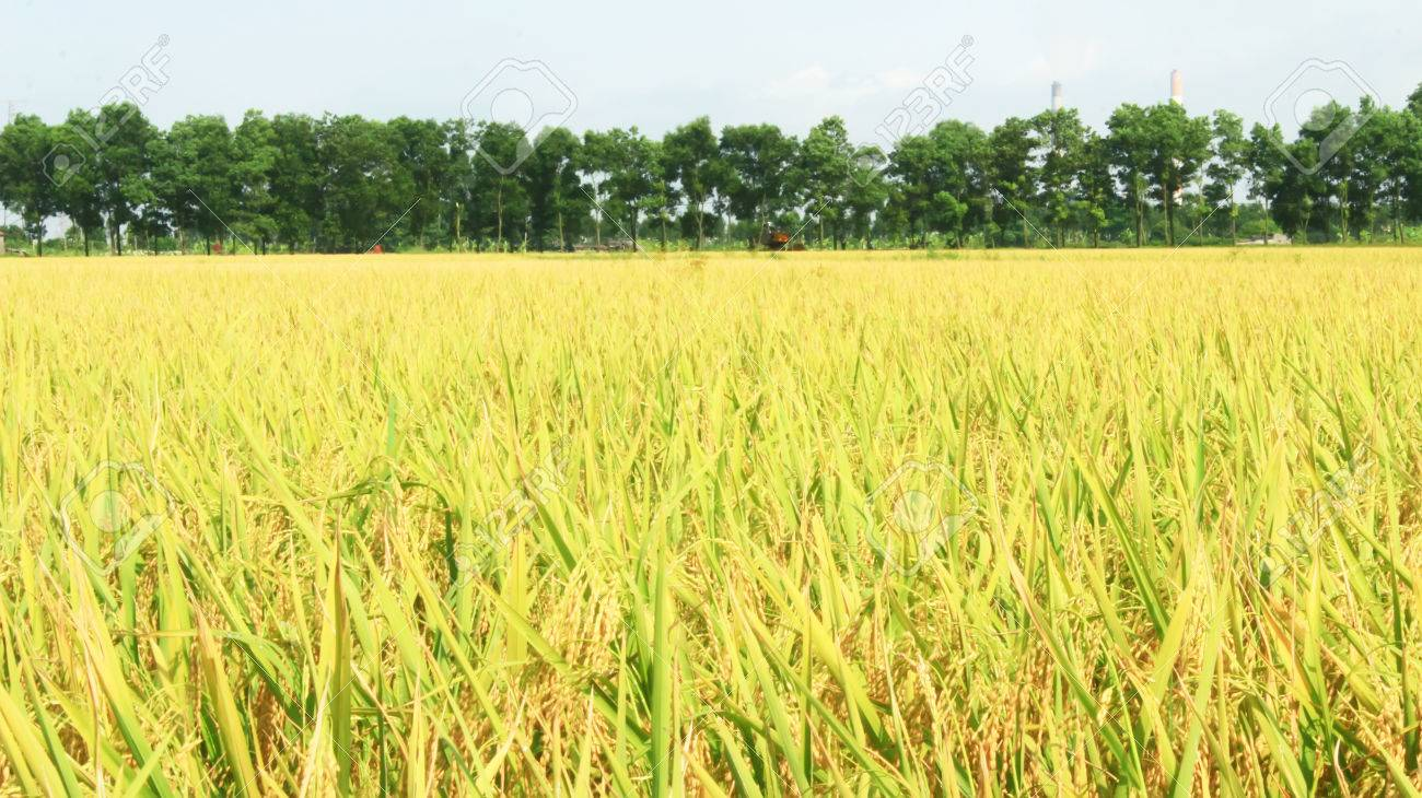 golden rice field and sky - 41664554
