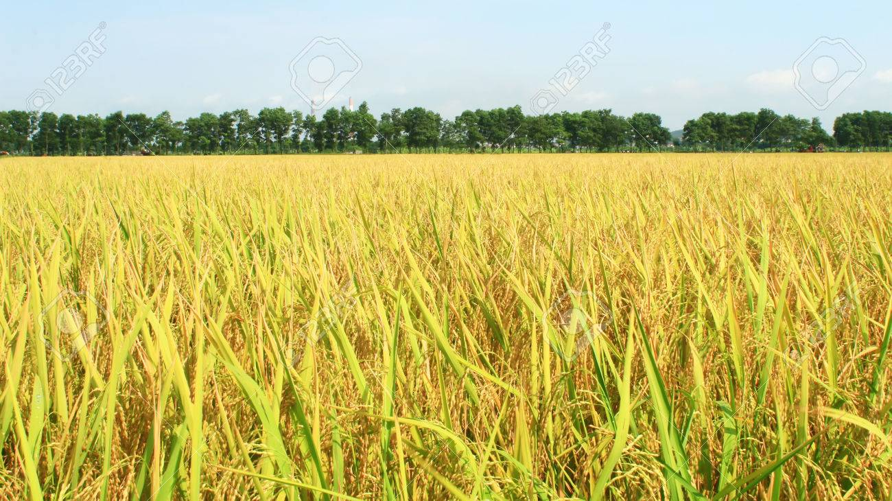 the golden rice field and sky - 41665032