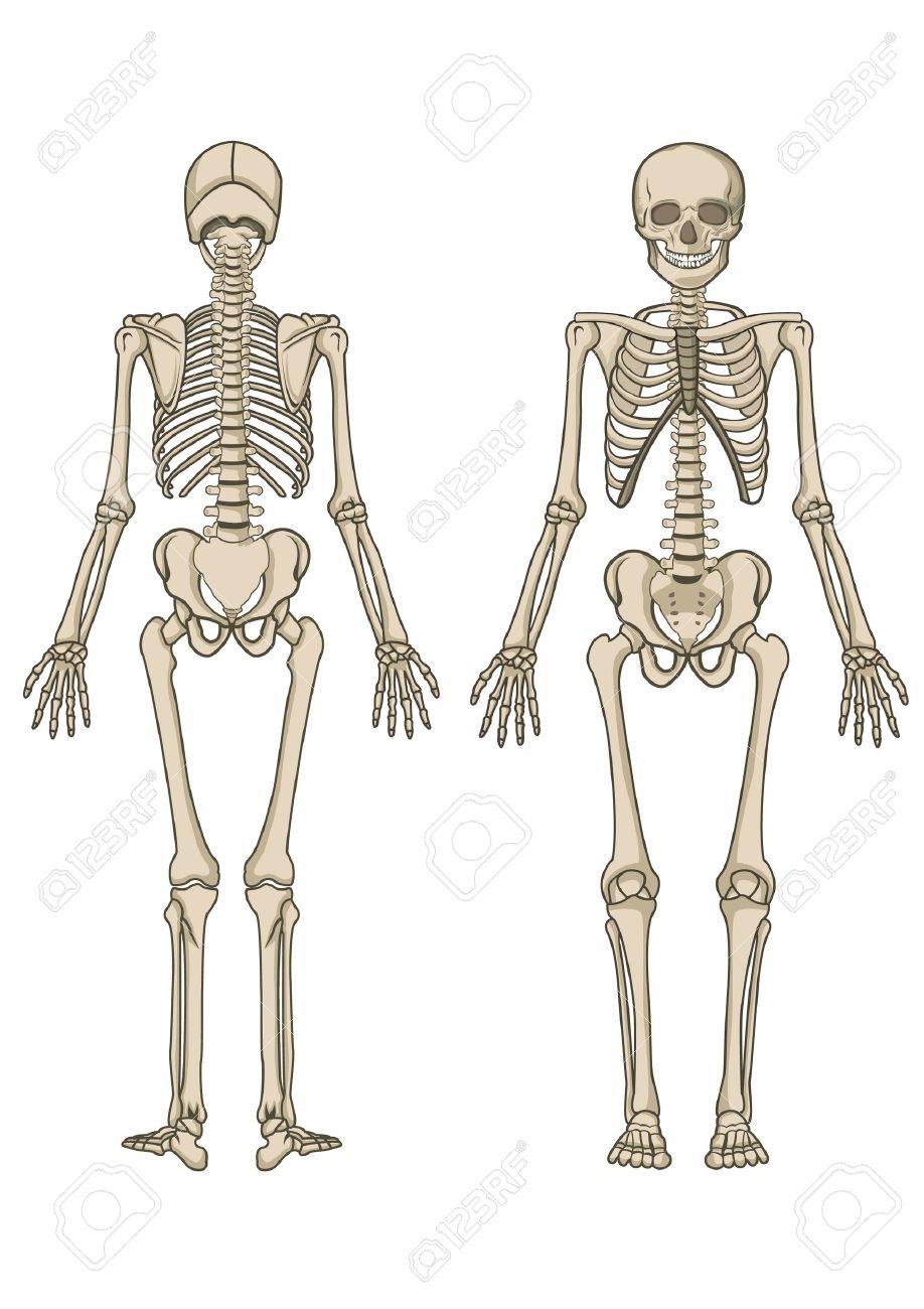 Esqueleto Humano, Hueso, Anatomía, Biología Y Cráneo Ilustraciones ...