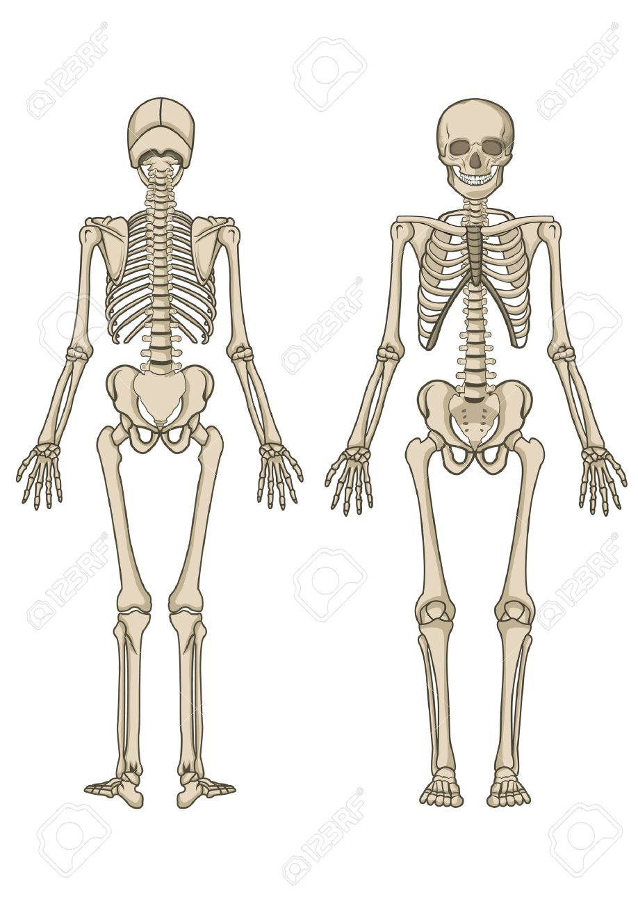 Human Skeleton, Bone, Anatomy, Biology And Skull Royalty Free ...