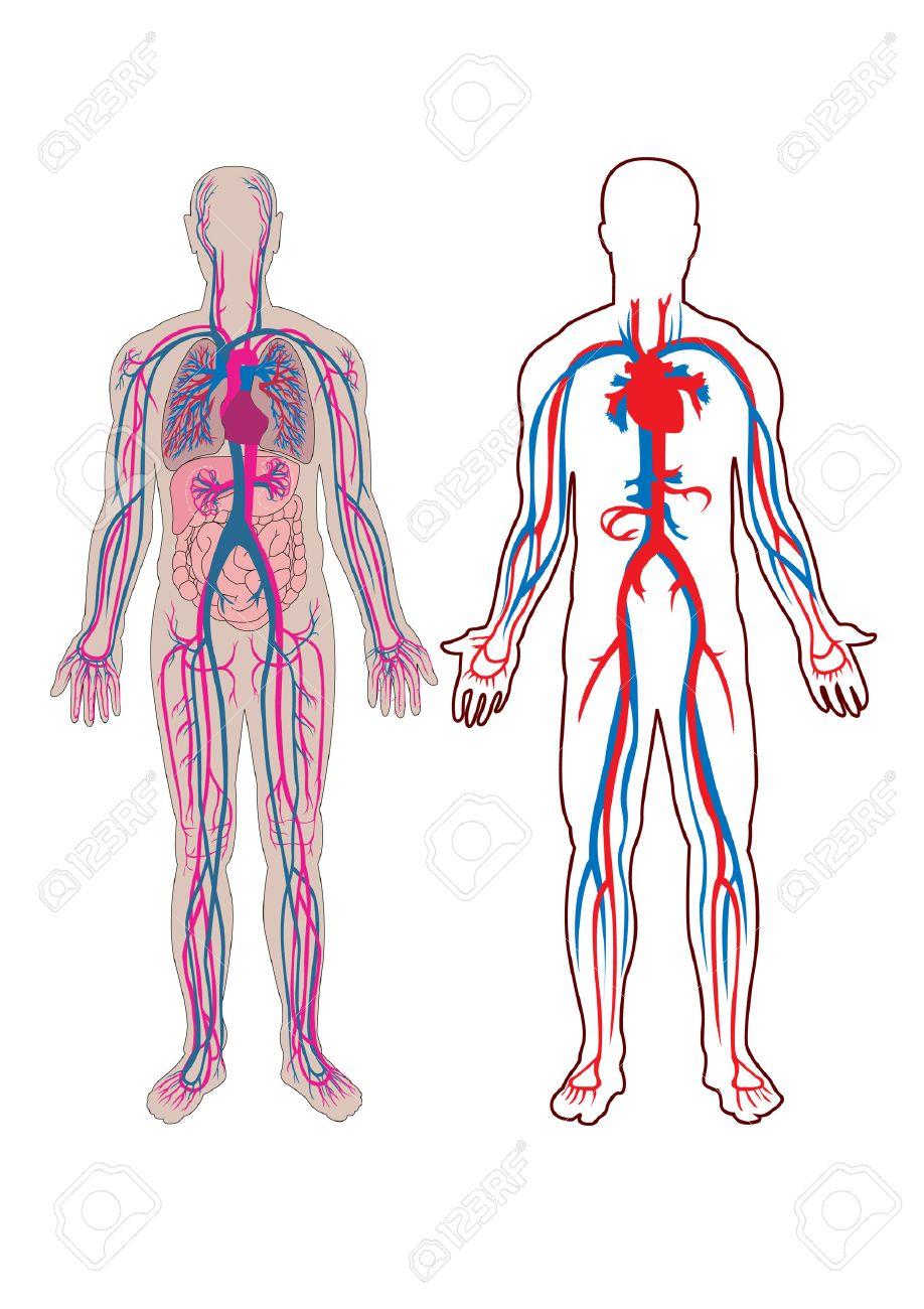 Diagrama De La Vena Humana Y Anatomía Ilustraciones Vectoriales ...