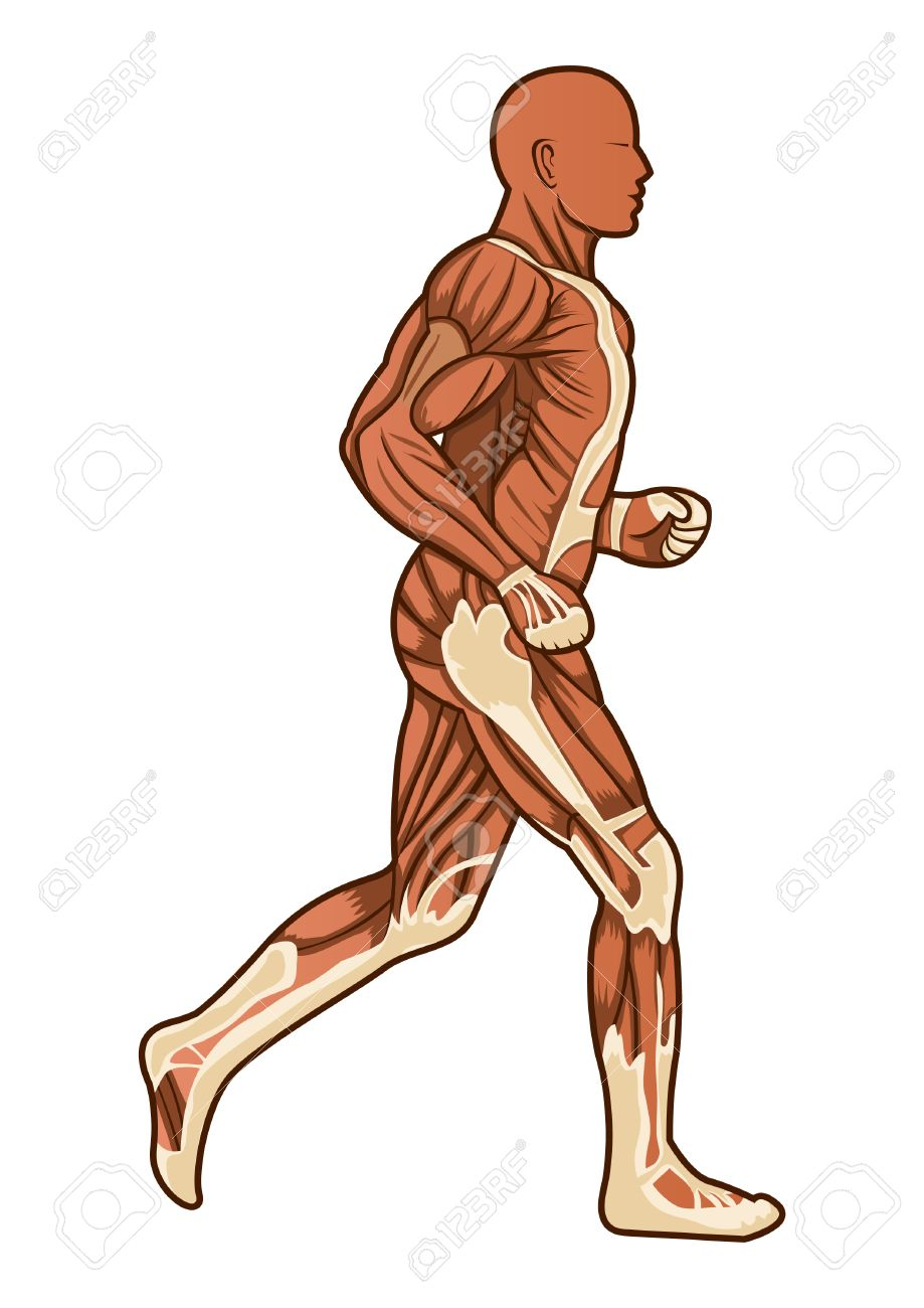 Una Figura De Ejecución De La Anatomía Humana Ilustraciones ...