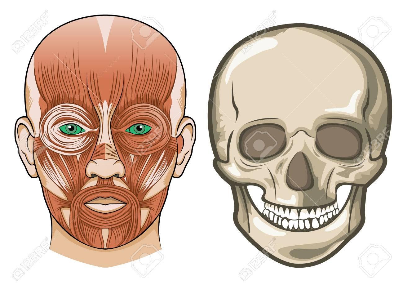 Gesichts Der Menschlichen Anatomie Und Schädel Lizenzfrei Nutzbare ...