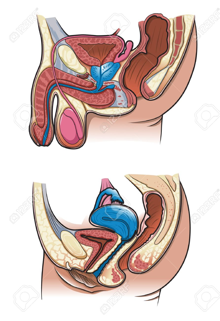 Diagram Of A Cross Section Of The Human Reproductive System Royalty