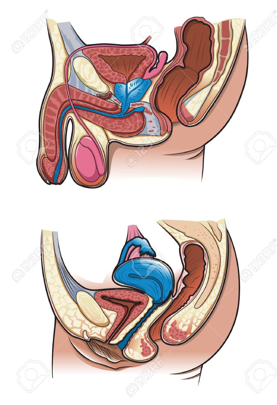 Diagrama De Una Sección Transversal Del Sistema Reproductivo Humano ...