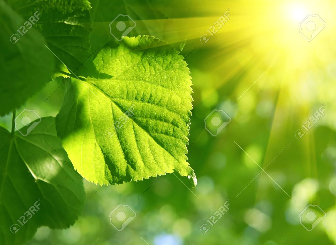 fresh green leaf of linden tree and sun beams - 7937695