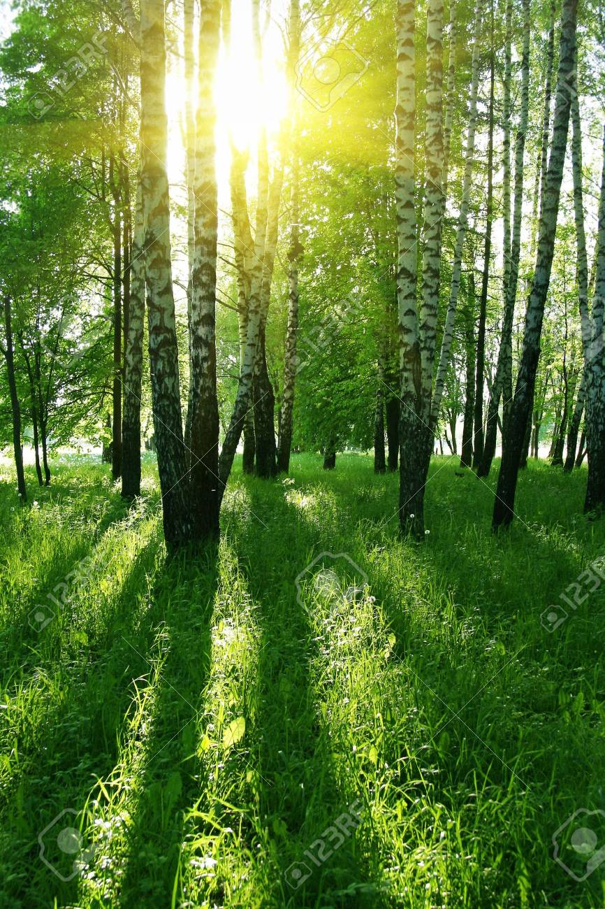 birch trees with long shadows in summer forest - 7937699