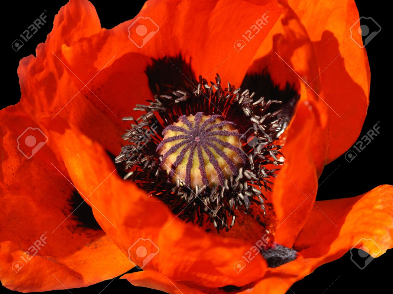 beautiful blooming red poppy flower on black Stock Photo - 8288472