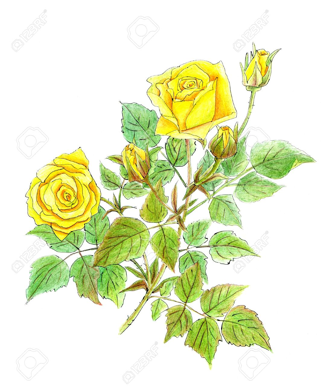 Drawing Of Yellow Roses On White Background Stock Photo Picture And