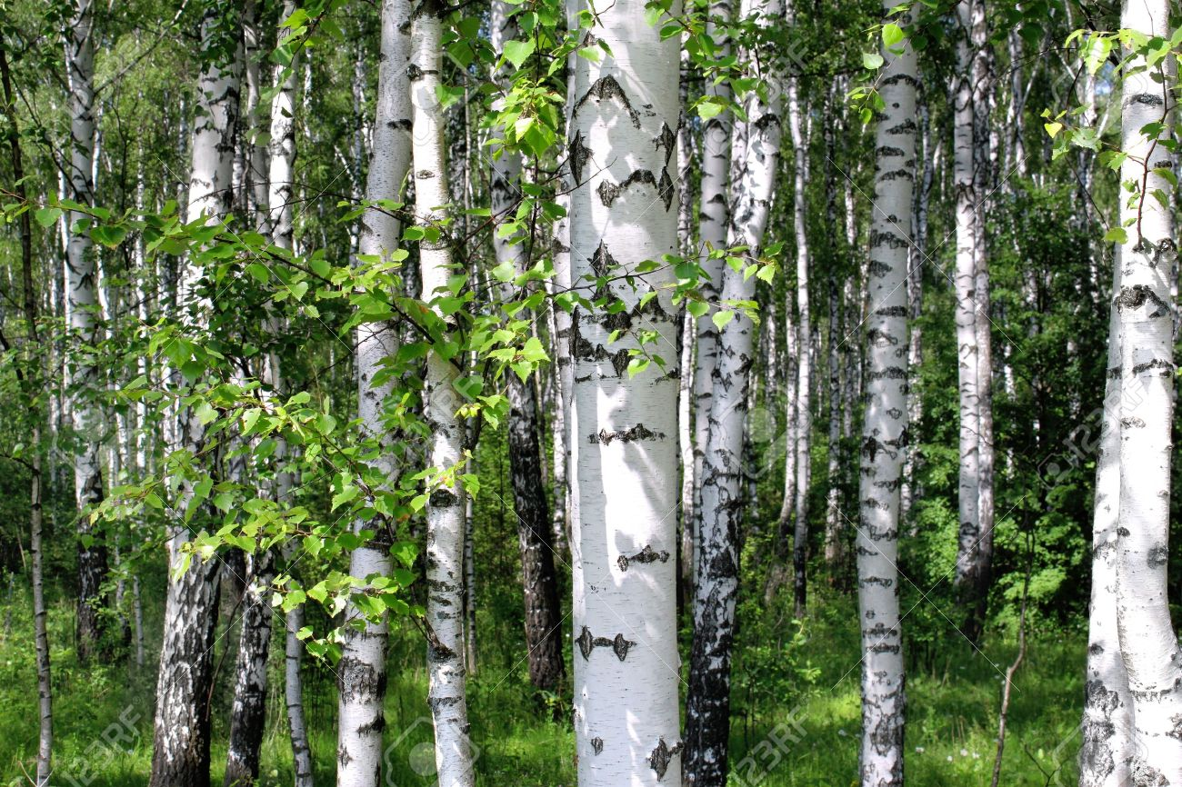 Beautiful birch trees in a summer forest - 14459374