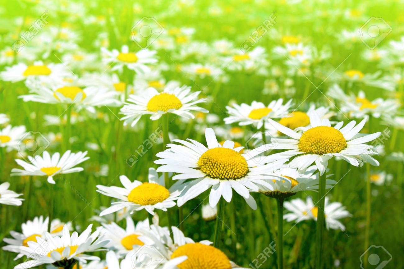 Field Of Daisy Flowers Chamomile Flowers Stock Photo Picture And