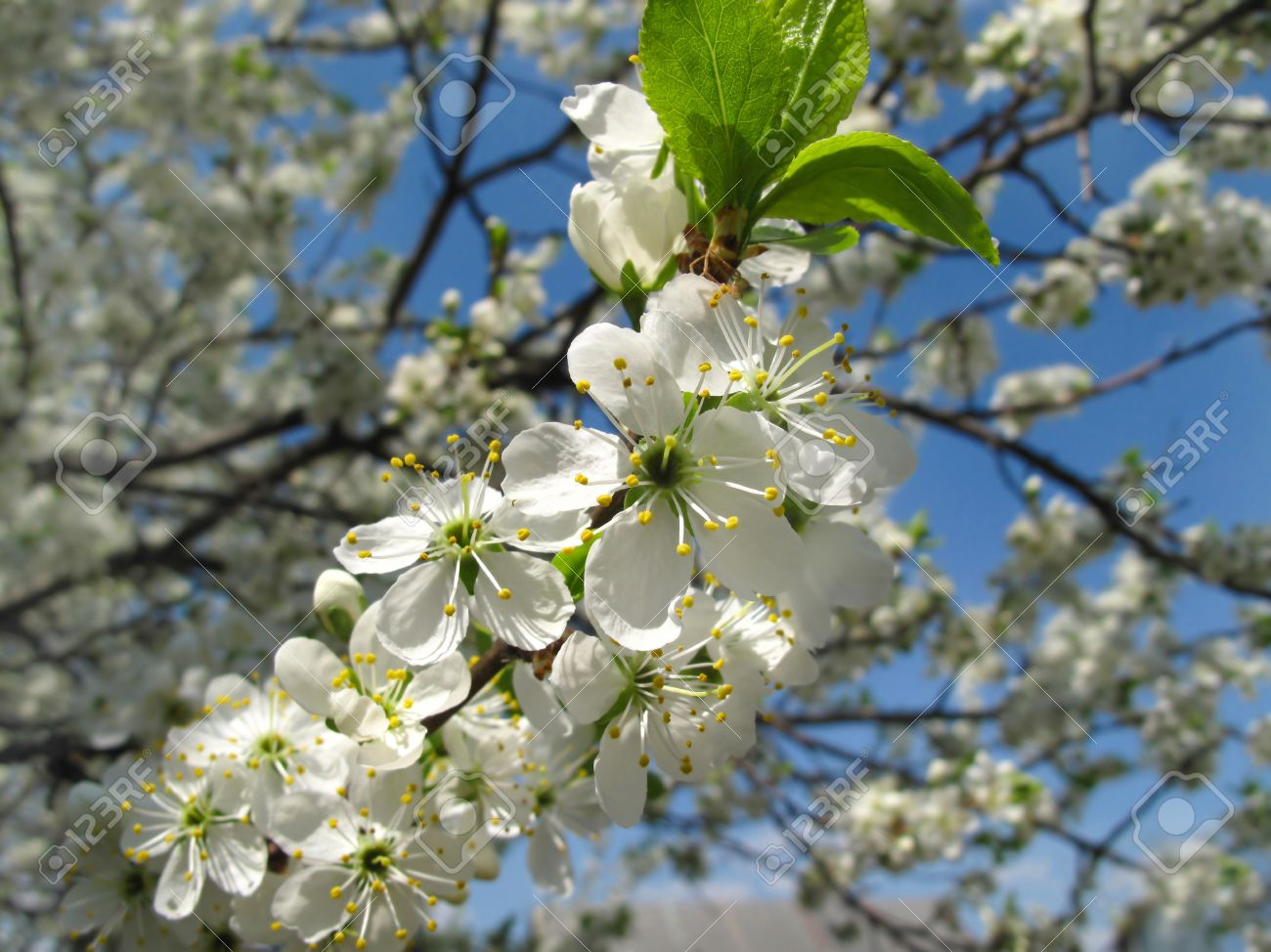 Branch Of A Flowering Fruit Tree With Beautiful White Flowers