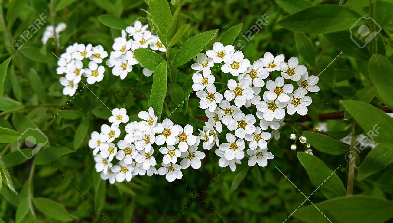 Spring Flowering Shrub With White Flowers Stock Photo Picture And