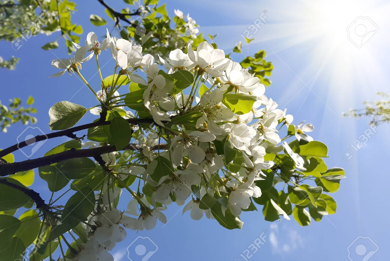 Branch Of A Spring Tree With Beautiful White Flowers And Sunlight