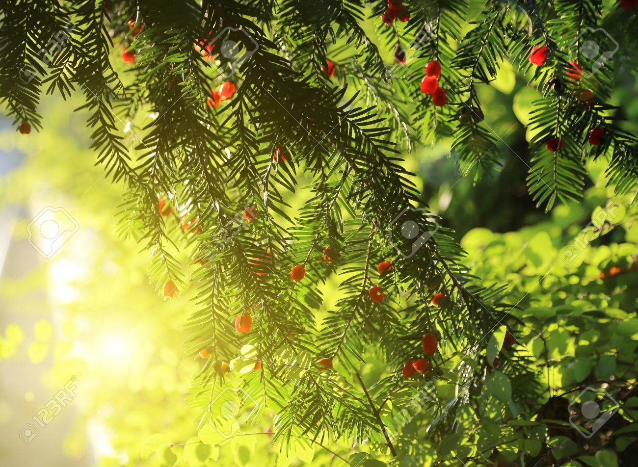 red berries growing on evergreen yew tree in sunlight european