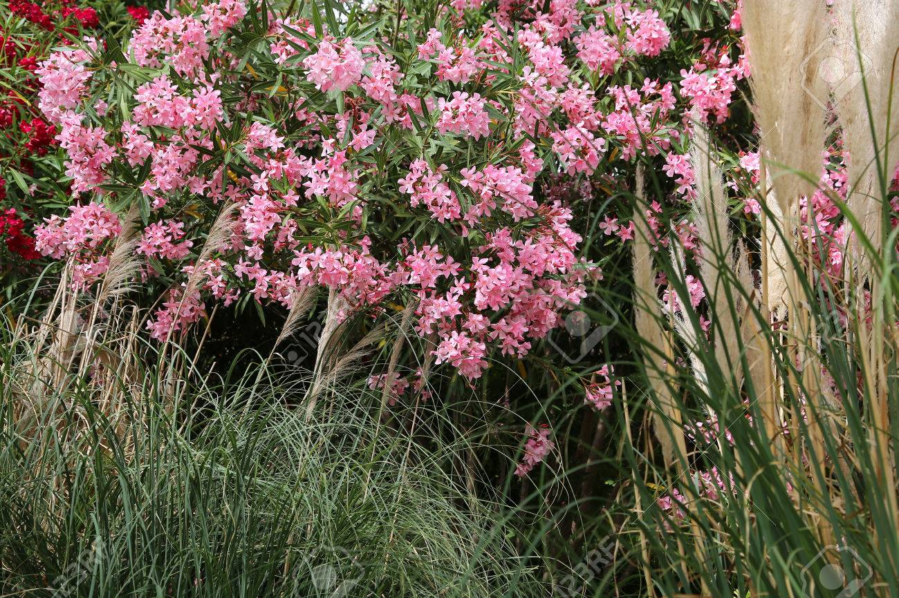 Flowering Pink Oleander Bush And Tall Grasses Stock Photo Picture