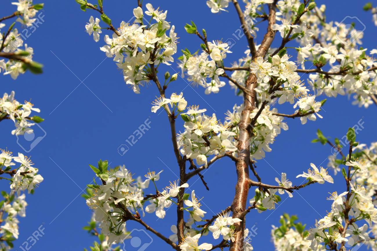 Branch Of A Spring Tree With Beautiful White Flowers On Blue Stock