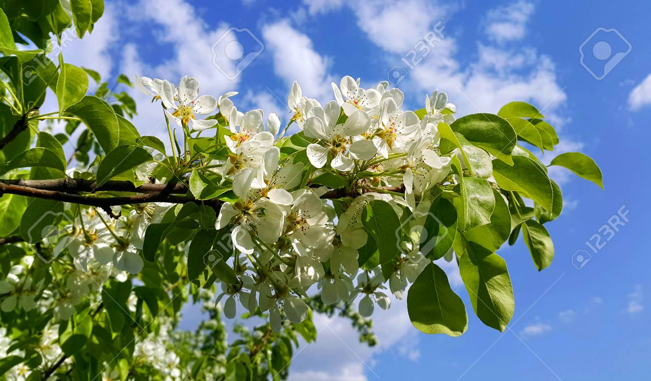 Beautiful Branch Of A Spring Fruit Tree With Beautiful White Stock