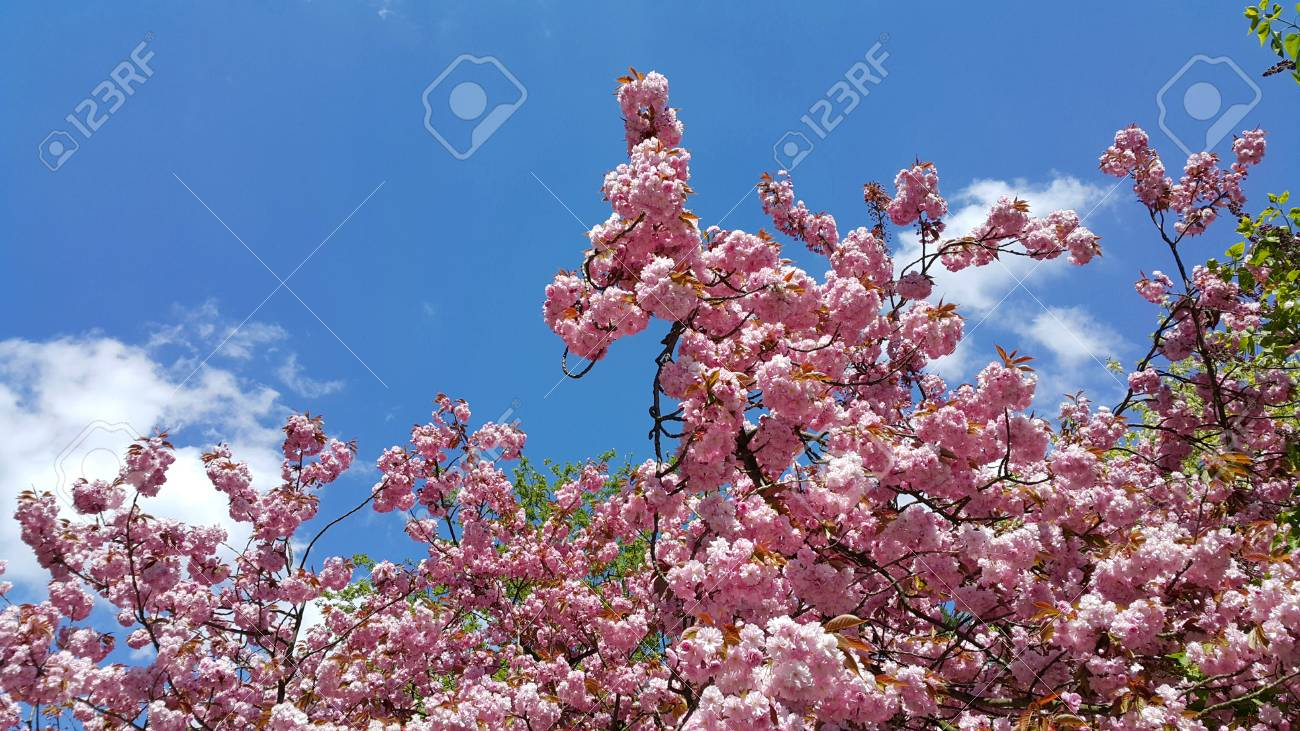 Beautiful Flowers Of Spring Trees Against The Blue Sky Japanese
