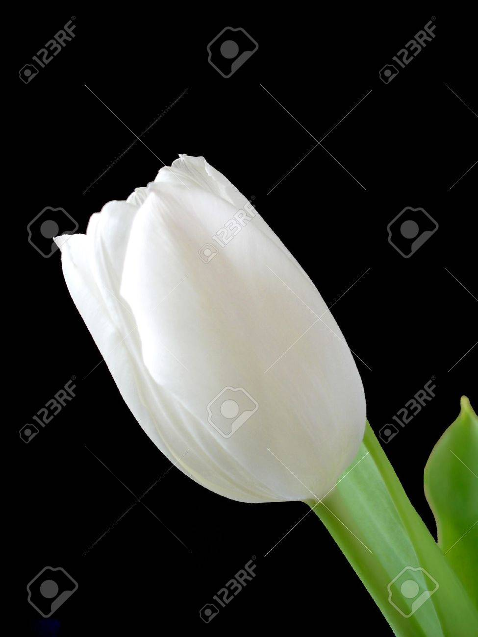 A single white tulip isolated on a black background Stock Photo - 854086