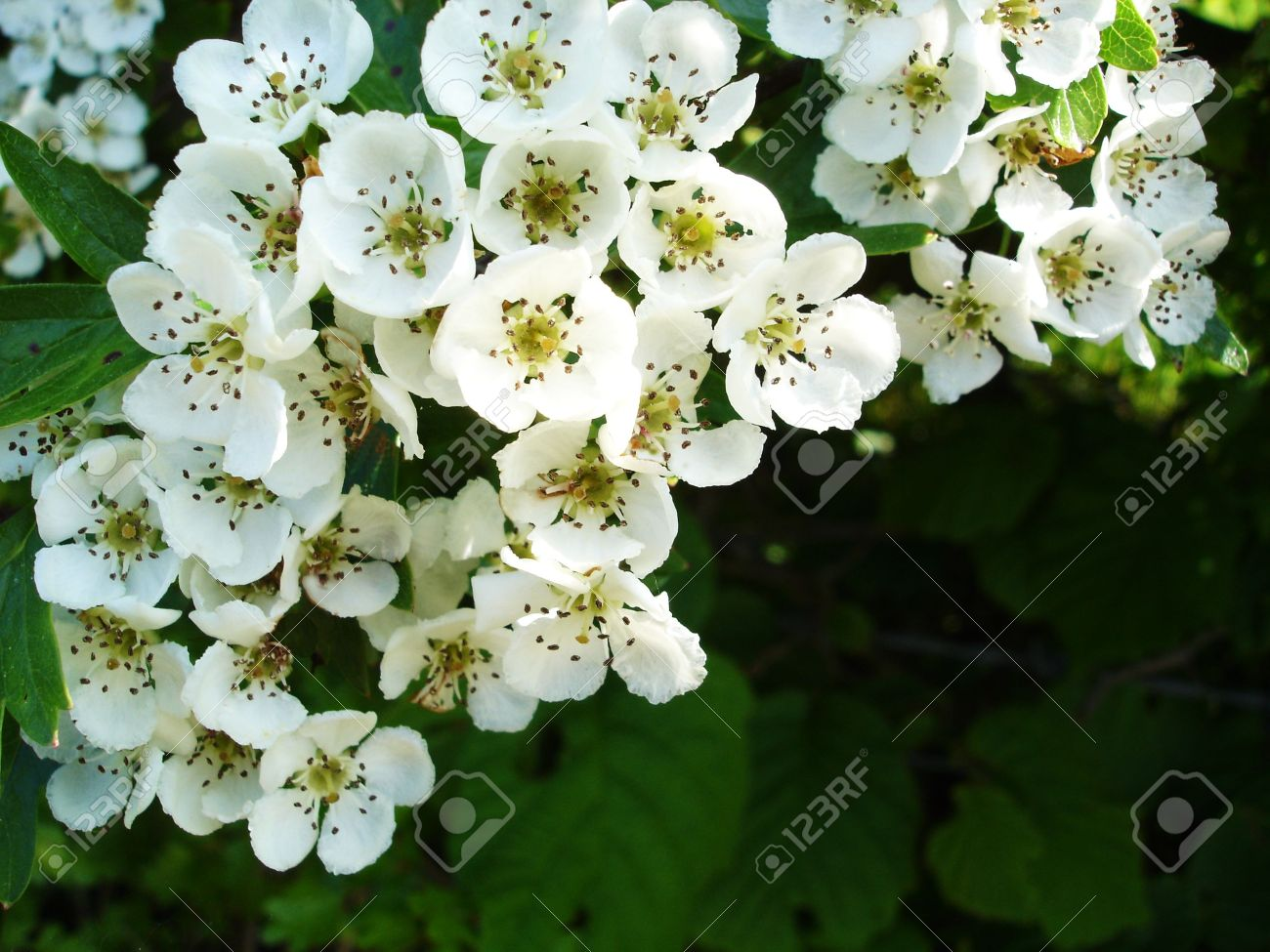 White Flowers Of The Hawthorne Bush Stock Photo Picture And Royalty