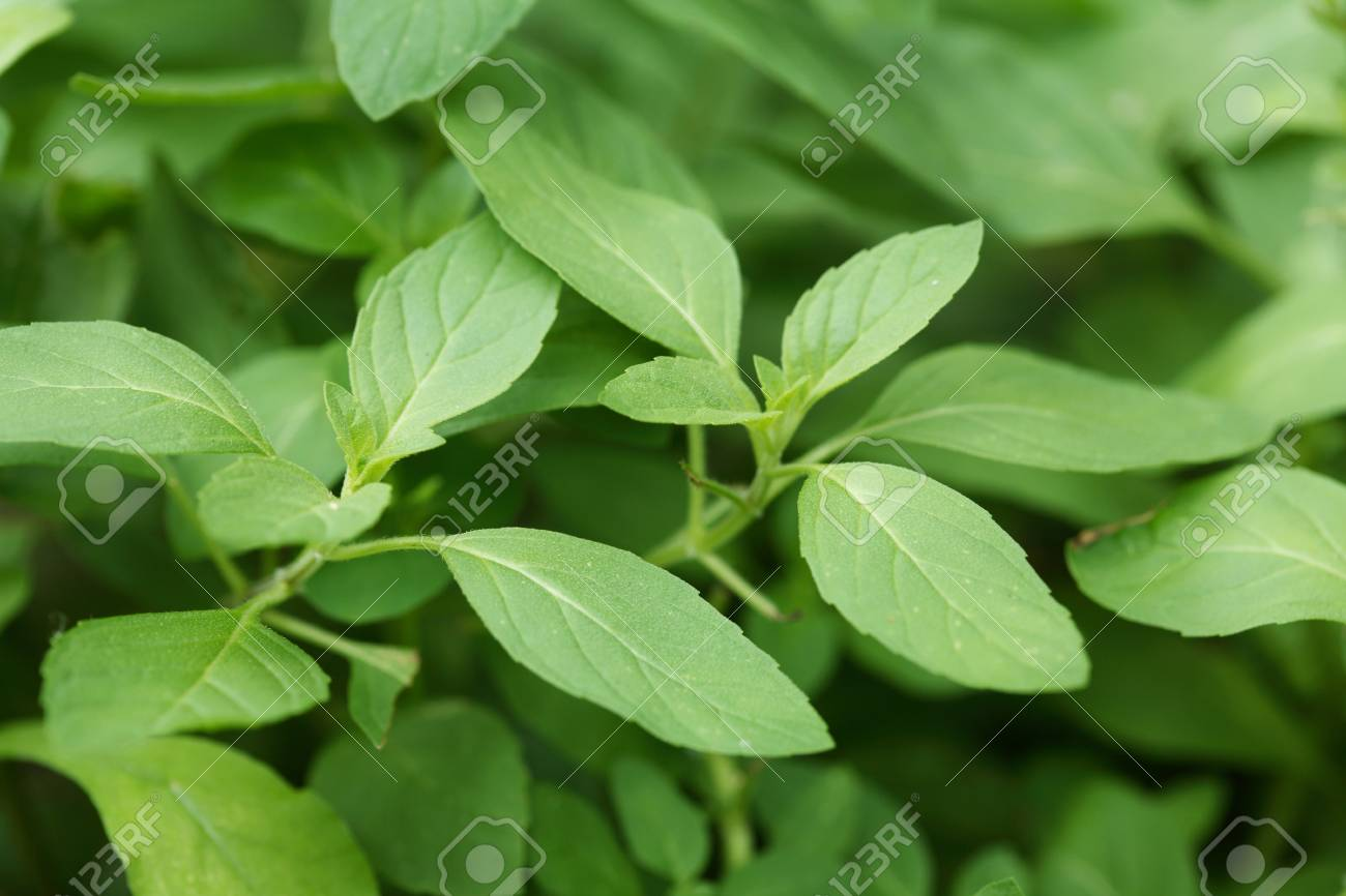 Medicinal Plant Herb Common Name Vicks Plant Peppermint Plant Stock Photo Picture And Royalty Free Image Image 85738841